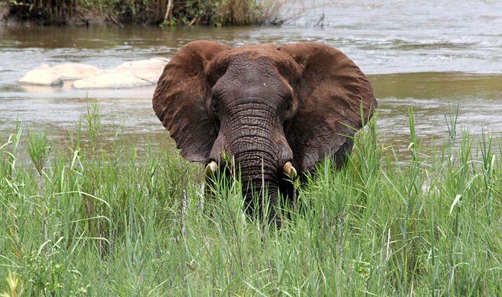 Joven elefante en el río Cocodrilo. Autor: Lilian De Cassai